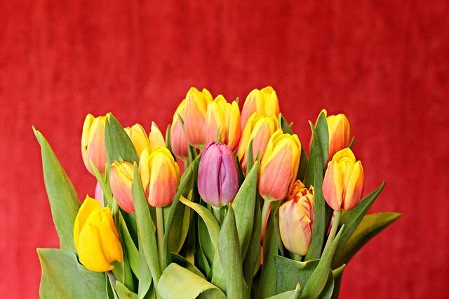 pestré tulipány